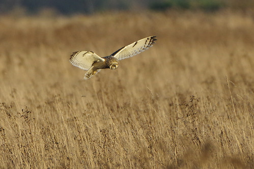 burwellfen cambridgeshire nationaltrust wild bird wildlife nature shorteared owl asioflammeus birdofprey