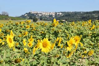 Sunflowers, La Garde-Adhemar, Drome Provencal   by BuzzTrips