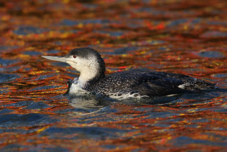 Red-throated Diver | by Chris B@rlow