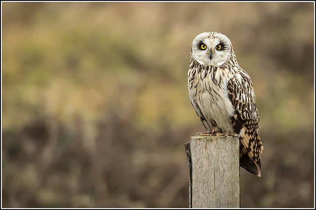 Owl on another post