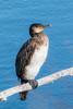 Great Cormorant [2/100] by timsackton