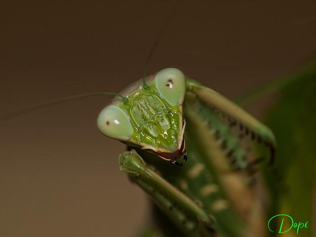 01-12/365_Mantis Malagueña