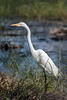 Great Egret by sr667