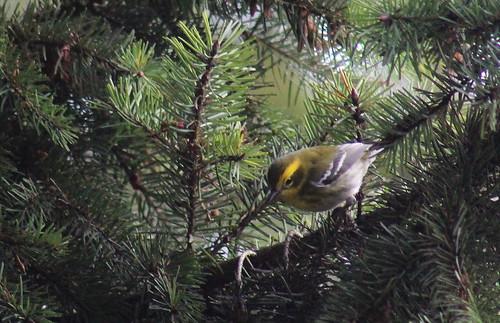 birdsofwashington bird washingtonbirds warbler townsendswarbler setophagatownsendi
