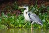 Cocoi Heron by CedricBear
