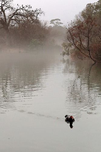 janbuchholtz fog foggy duck muscovyduck hermannpark houston texas mcgovernlake landscape pond lake solitary solitude