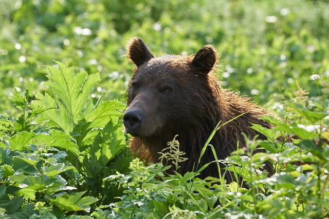 Portrait of a bear in cow parsnip