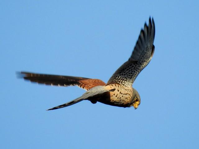 Turmfalke*common kestrel [Falco tinnunculus]
