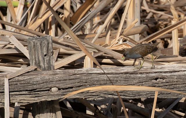 Australian spotted crake, (Porzana fluminea)-6728