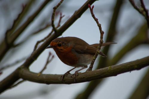 Bold robin, Castle Grounds, Bridgnorth