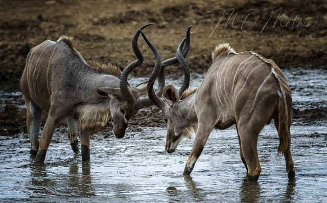 Kudu Bulls, skirmishing at waterhole