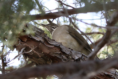 wildlife birds aves pájaros passaros turdidae nature naturaleza