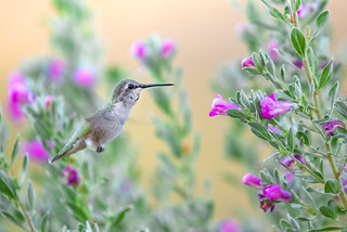 Costa's Hummingbird | by RawComposition