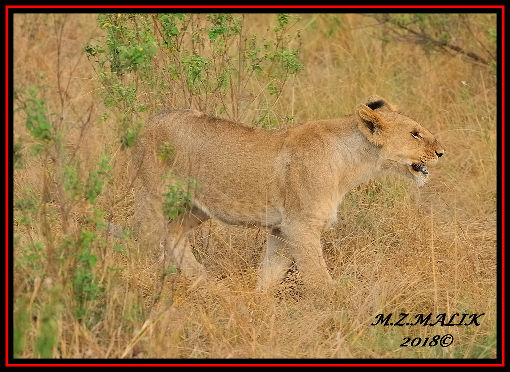 YOUNG SUB-ADULT MALE CUB (Panthera leo)  ......MASAI MARA......SEPT 2018