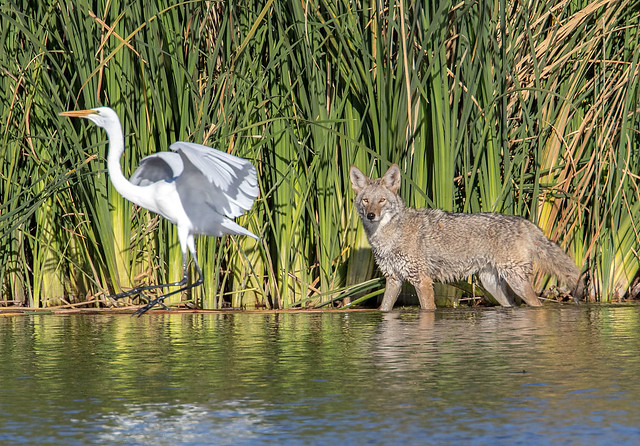 Coyote and Great Egret