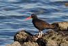 Black Oystercatcher by brian.bemmels