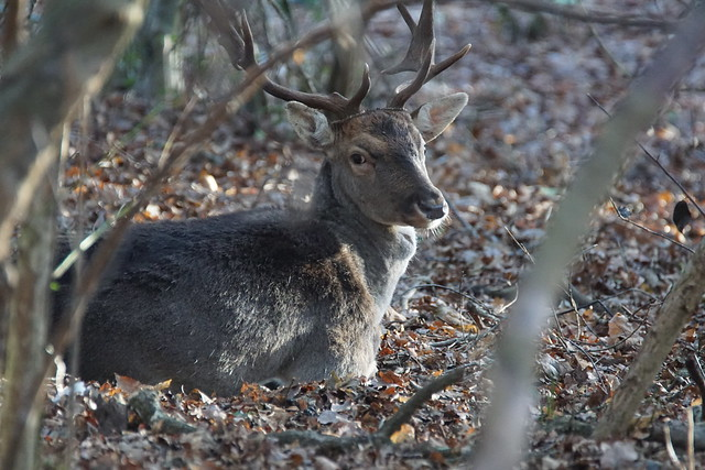 Fallow Buck - Epping Forest
