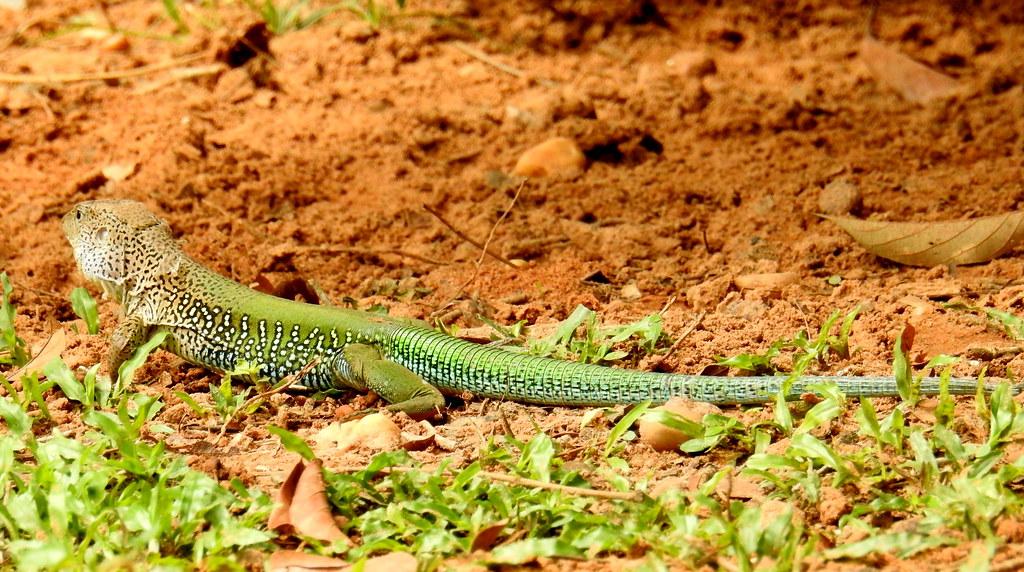 Grüne Ameive (Ameiva ameiva) Regenwald Amazonas