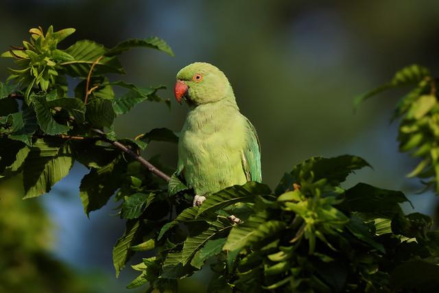 Rose Ringed Parakeet (1/2) : posing for me in the green leaves