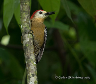 Jamaican Woodpecker, Ecclesdown Road, Drivers River Valley, North Jamaica, Endemic, | by Graham Ekins