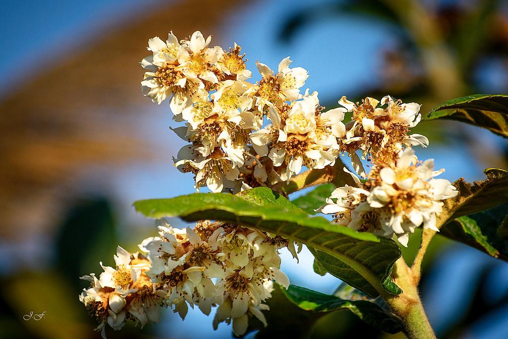 Flor del nispero