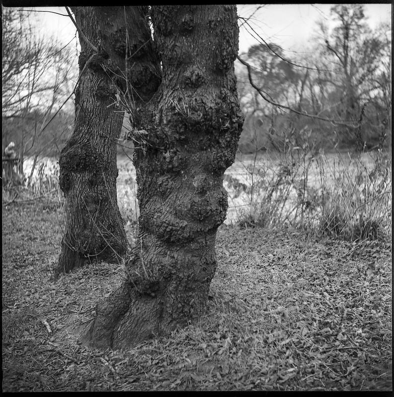 two old tree trunks, light rain, Carrier Park, French Broad River, Asheville, NC, Ricohflex Dia M, Arista.Edu 200, Ilford Ilfosol 3 developer, 11.14.18-2