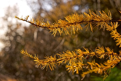 2018-11-04-Tamarack-fall-12 | by normhead
