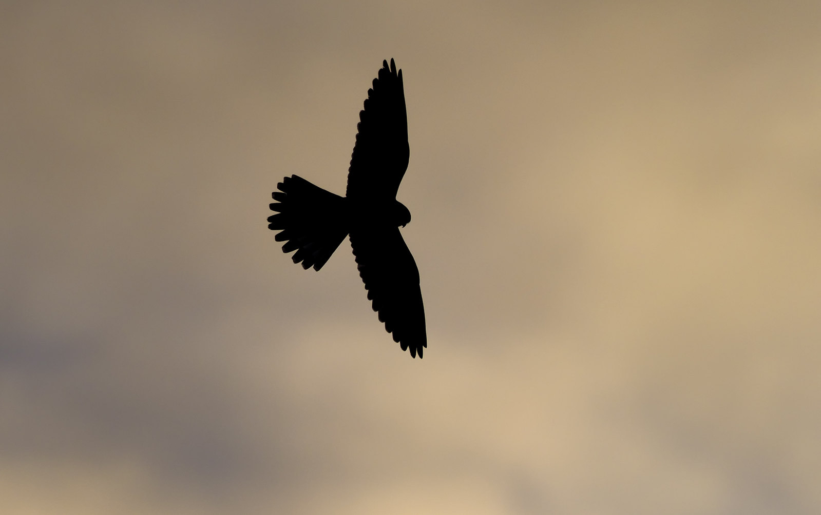 Kestrel Hunting at dusk