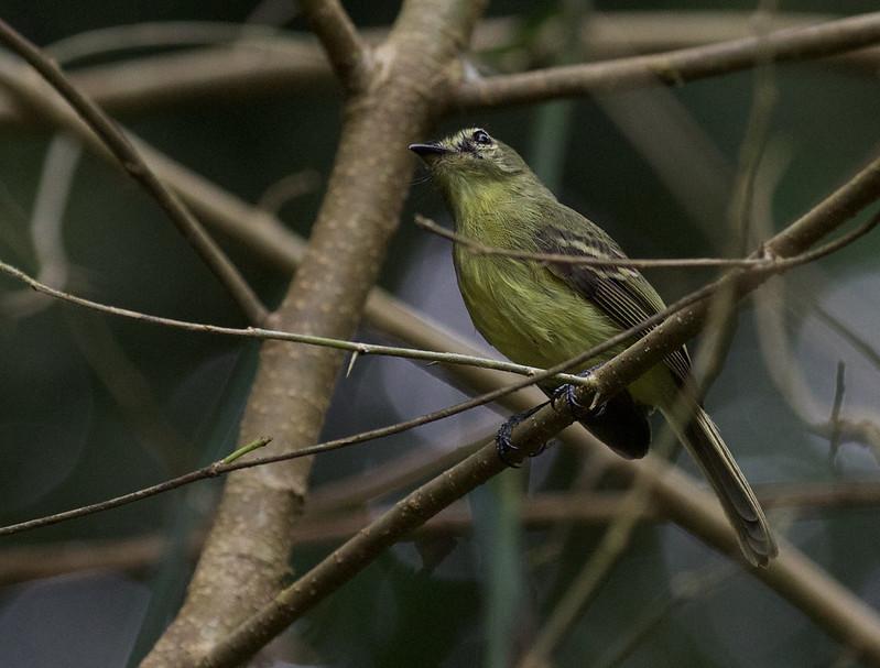 Yellow Tyrannulet, Capsiempis flaveola Ascanio_Peruvian Amazon 199A6828