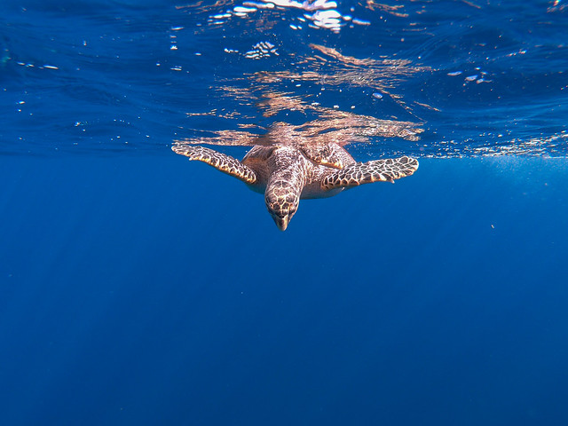 Hawksbill Sea Turtle, Sharm El Sheikh, Egypt