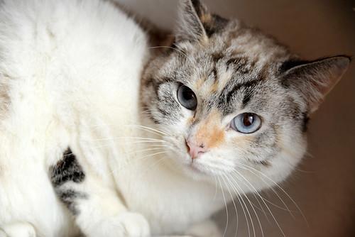 Aruba, gata cruce siamesa dulzona y muy guapa esterilizada, nacida en Agosto´17, en adopción. Valencia.  46423470782_463b463713