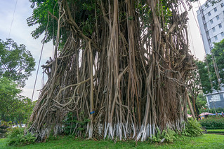 Banyan Tree in Ly Tu Trong Park in Ho Chi Minh City | by wuestenigel