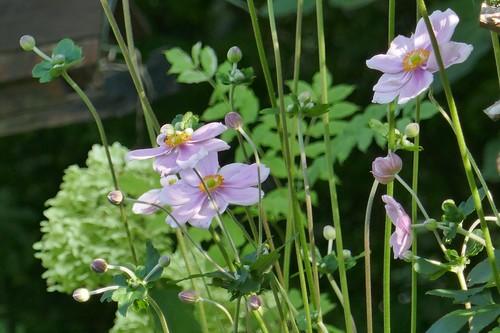 Au jardin, anémones du Japon ou Anemone hupehensis, Bosdarros, Béarn, Pyrénées Atlantiques, Nouvelle-Aquitaine, France. | by byb64