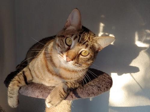 Cotton y Cobby, gatos pardo y blanquipardo inseparables, nacidos en Febrero´15, necesitan adopción Conjunta. Valencia. 44067529150_c661d37a72