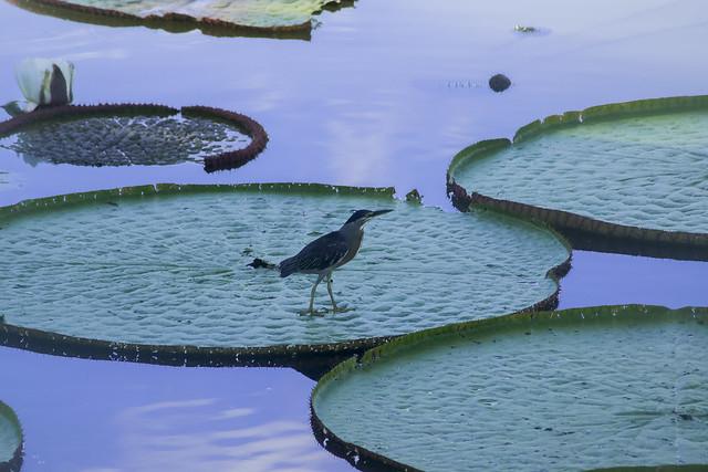 Visitante en la flor de loto (Amazonas)