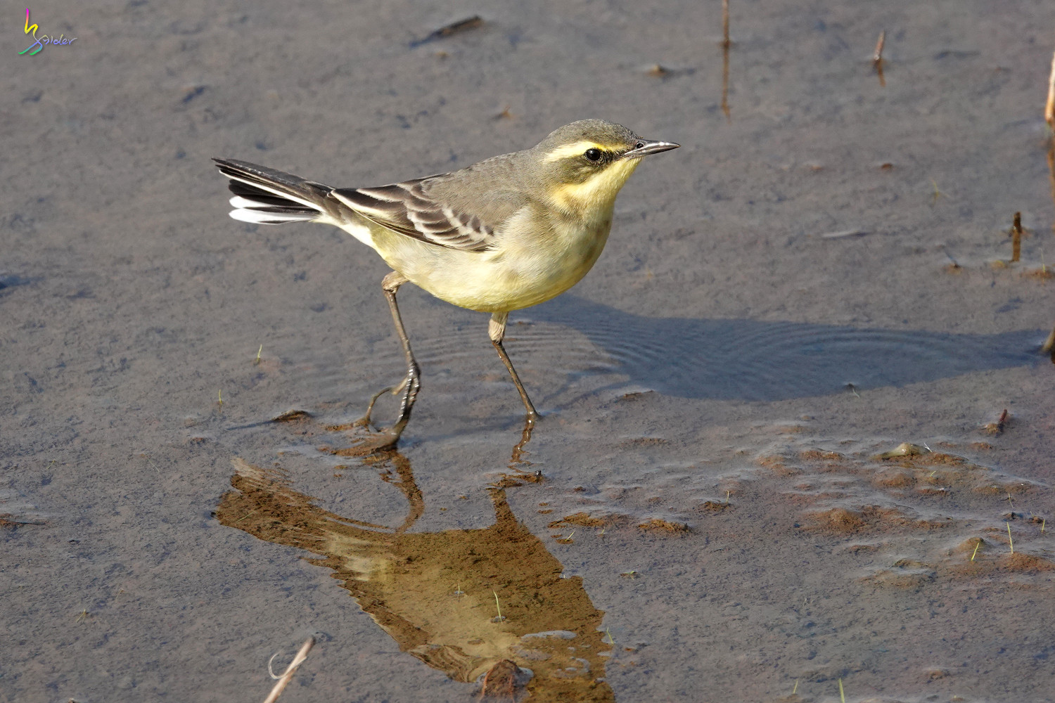 Yellow_Wagtail_Sony_00051