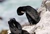 Cape Cormorant (Phalacrocorax capensis) by Ardeola
