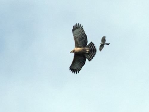 Mountain Hawk-Eagle being chased by a Besra | by nickathanas