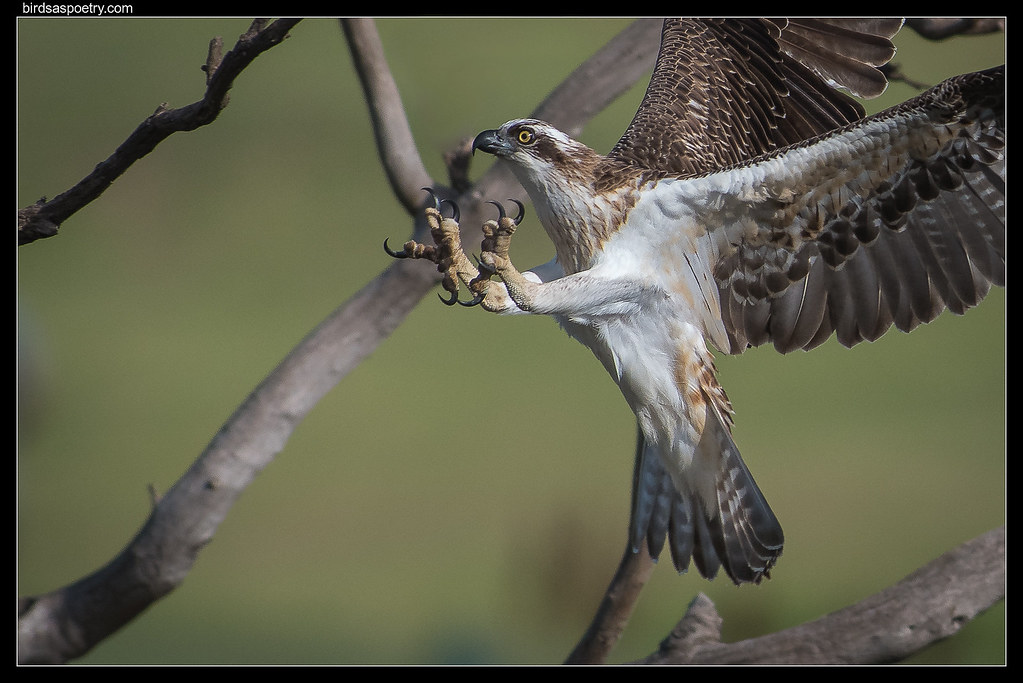 Eastern Osprey: Elosie Locked on for Landing