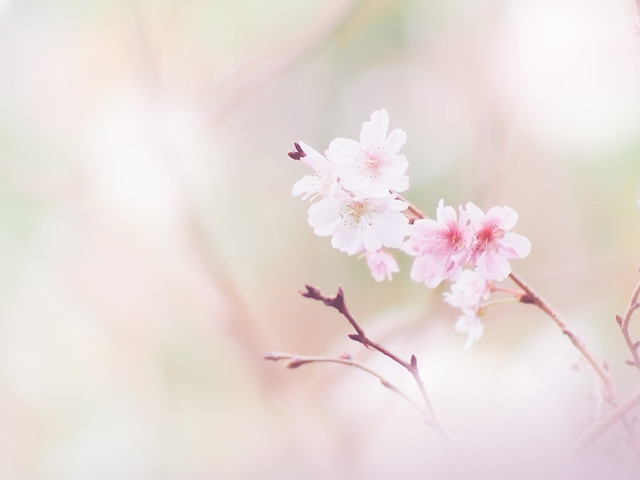 Cherry blossoms in autumn