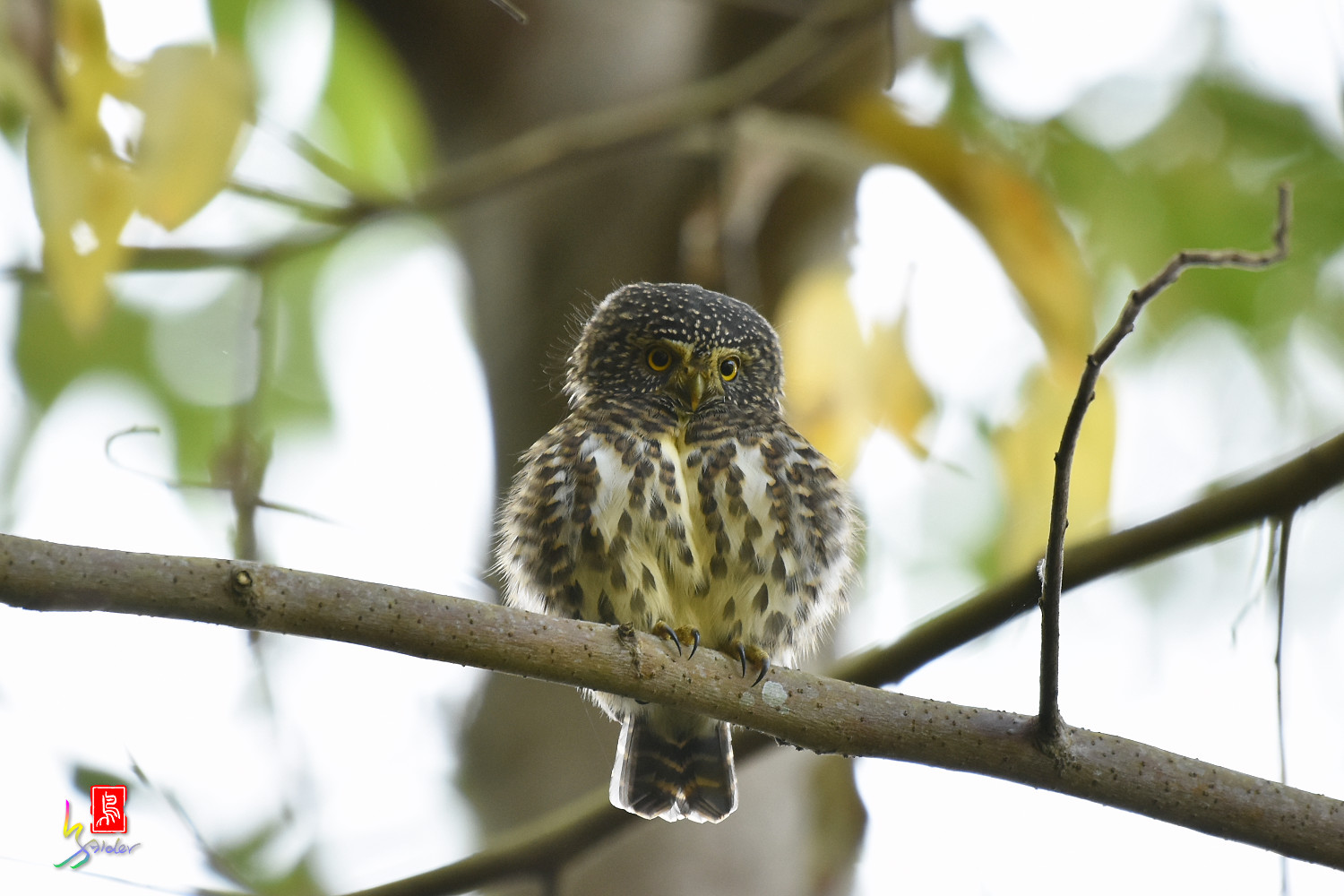 Collared_Owlet_4695