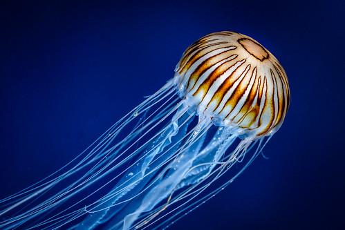 Japanese Compass Jellyfish | by der LichtKlicker