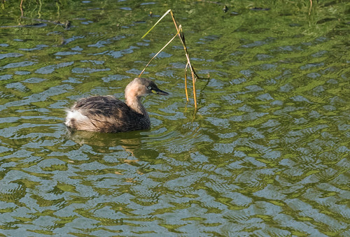 Little Grebe | by nickathanas