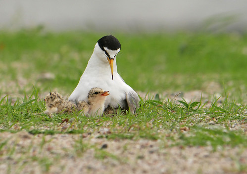 Little tern feeding chicks (Sternula albifrons)