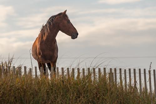 curritucknationalwildliferefuge northcarolina outerbanks spanishmustangs atlanticocean ocean horse landscape beach