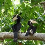 Hornbills, Kumana National Park