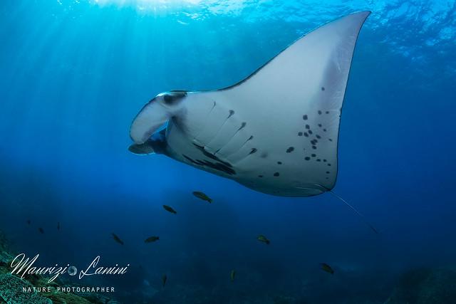 Reef's manta, Manta dei reef