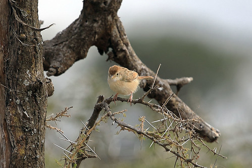 Rattling cisticola | by dmmaus