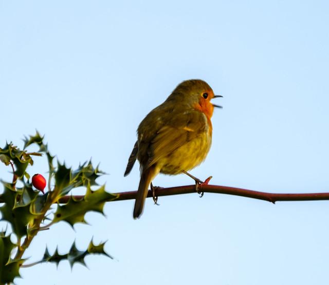 739.365-009     Singing Robin