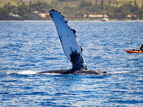 Humpback Whale and Kayak | by itsmarykate
